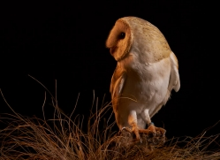 barn-owl-copyright-photographers-on-safari-com-8686