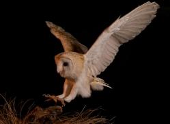 barn-owl-copyright-photographers-on-safari-com-8688