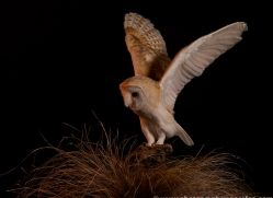 barn-owl-copyright-photographers-on-safari-com-8689
