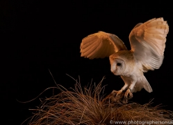 barn-owl-copyright-photographers-on-safari-com-8691
