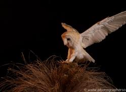 barn-owl-copyright-photographers-on-safari-com-8693