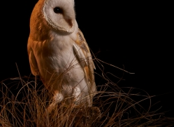 barn-owl-copyright-photographers-on-safari-com-8694