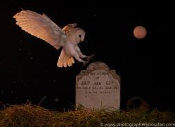 barn-owl-copyright-photographers-on-safari-com-8839