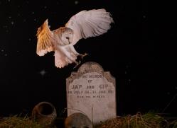 barn-owl-copyright-photographers-on-safari-com-8844