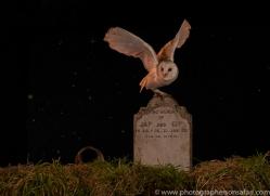 barn-owl-copyright-photographers-on-safari-com-8858
