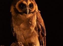 brown-asian-wood-owl-copyright-photographers-on-safari-com-8835