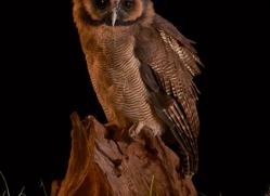 brown-asian-wood-owl-copyright-photographers-on-safari-com-8836