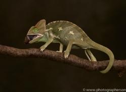 chameleon-copyright-photographers-on-safari-com-8706