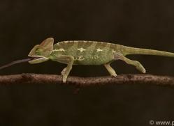 chameleon-copyright-photographers-on-safari-com-8707