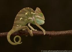 chameleon-copyright-photographers-on-safari-com-8709