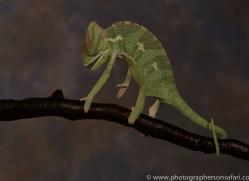 chameleon-copyright-photographers-on-safari-com-8714