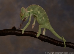 chameleon-copyright-photographers-on-safari-com-8715