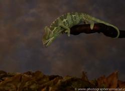 chameleon-copyright-photographers-on-safari-com-8718