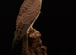 kestrel-copyright-photographers-on-safari-com-8724