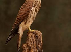 kestrel-copyright-photographers-on-safari-com-8731