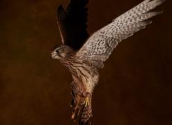 kestrel-copyright-photographers-on-safari-com-8735