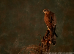 kestrel-copyright-photographers-on-safari-com-8740