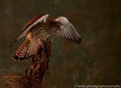 kestrel-copyright-photographers-on-safari-com-8743