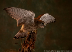 kestrel-copyright-photographers-on-safari-com-8745