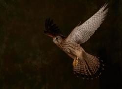 kestrel-copyright-photographers-on-safari-com-8750