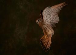 kestrel-copyright-photographers-on-safari-com-8751
