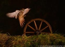 kestrel-copyright-photographers-on-safari-com-8883