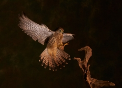 kestrel-copyright-photographers-on-safari-com-8885