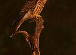 kestrel-copyright-photographers-on-safari-com-8886
