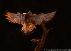 kestrel-copyright-photographers-on-safari-com-8887