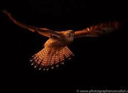 kestrel-copyright-photographers-on-safari-com-8893