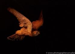 kestrel-copyright-photographers-on-safari-com-8897