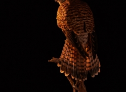 kestrel-copyright-photographers-on-safari-com-8898