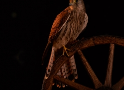kestrel-copyright-photographers-on-safari-com-8901
