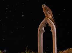 kestrel-copyright-photographers-on-safari-com-8903