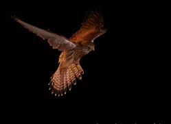 kestrel-copyright-photographers-on-safari-com-8904