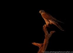 kestrel-copyright-photographers-on-safari-com-8906