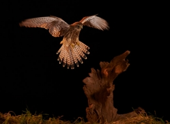 kestrel-copyright-photographers-on-safari-com-8910