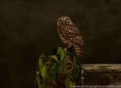 little-owl-copyright-photographers-on-safari-com-8752