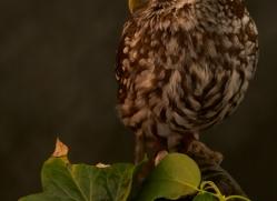 little-owl-copyright-photographers-on-safari-com-8754