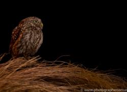little-owl-copyright-photographers-on-safari-com-8755