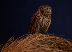 little-owl-copyright-photographers-on-safari-com-8756