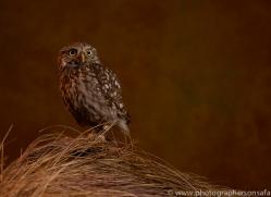 little-owl-copyright-photographers-on-safari-com-8759