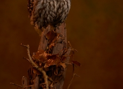 little-owl-copyright-photographers-on-safari-com-8760