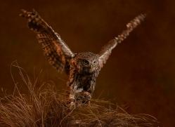 little-owl-copyright-photographers-on-safari-com-8761
