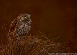 little-owl-copyright-photographers-on-safari-com-8762