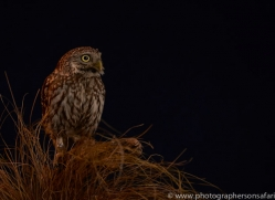 little-owl-copyright-photographers-on-safari-com-8765