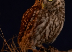 little-owl-copyright-photographers-on-safari-com-8766
