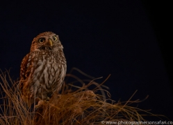 little-owl-copyright-photographers-on-safari-com-8767