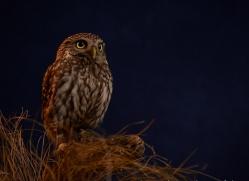 little-owl-copyright-photographers-on-safari-com-8768