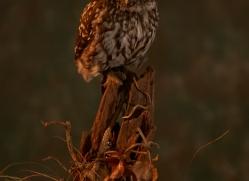little-owl-copyright-photographers-on-safari-com-8770